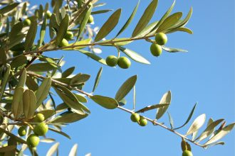 Een olijfboom adopteren in Italië