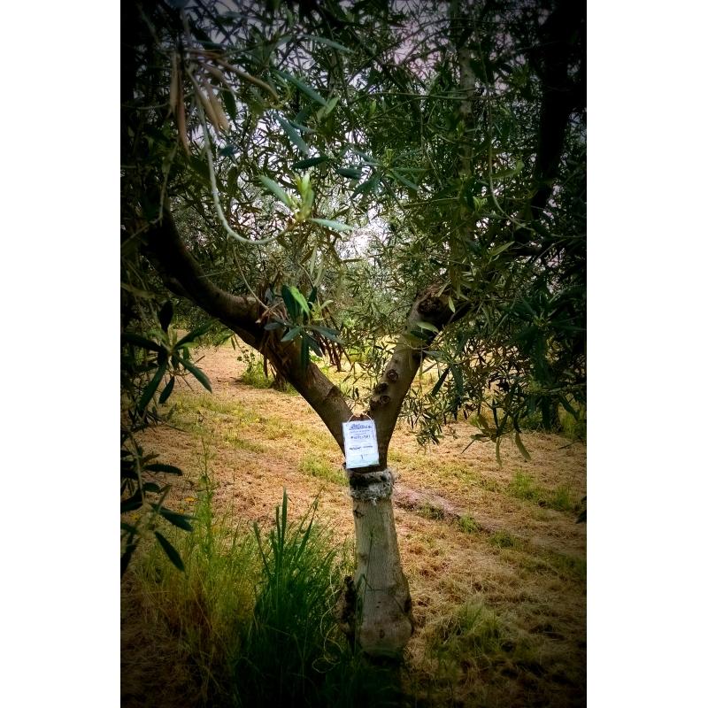 Een geadopteerde olijfboom in Puglia