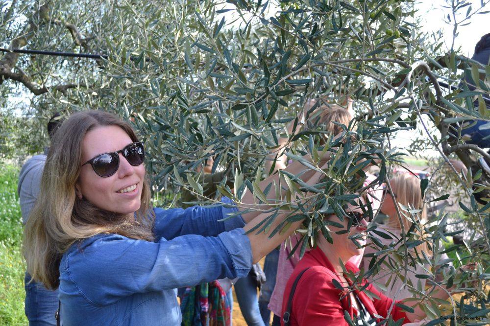 Olijven plukken in Puglia