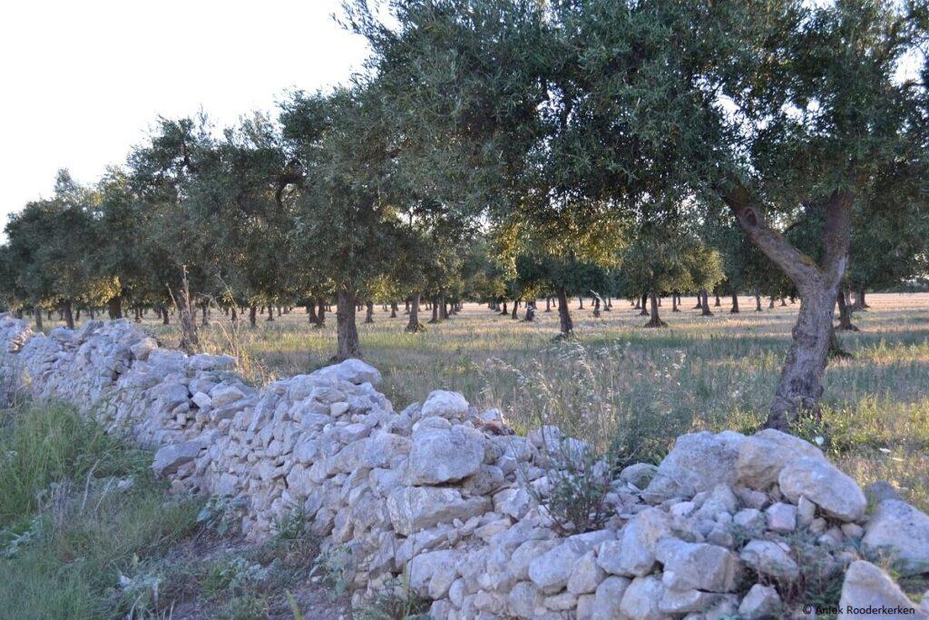Olijfbomen in Zuid-Italië