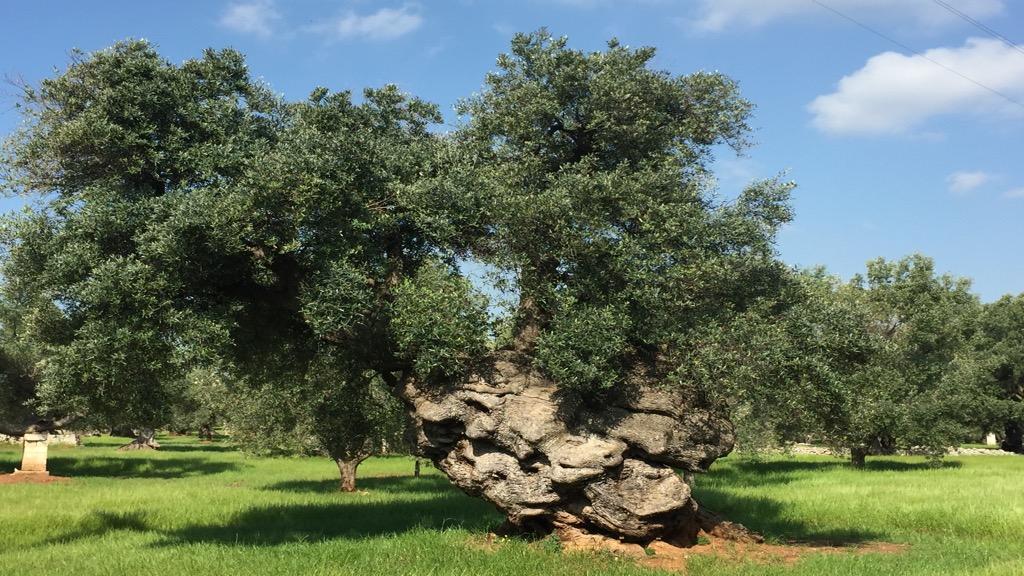 Olijfbomen in Puglia - foto Edwin Otto