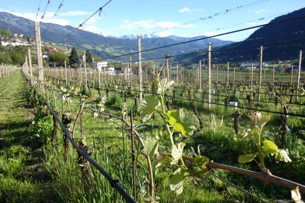 De wijngaarden van de Ölackererhof