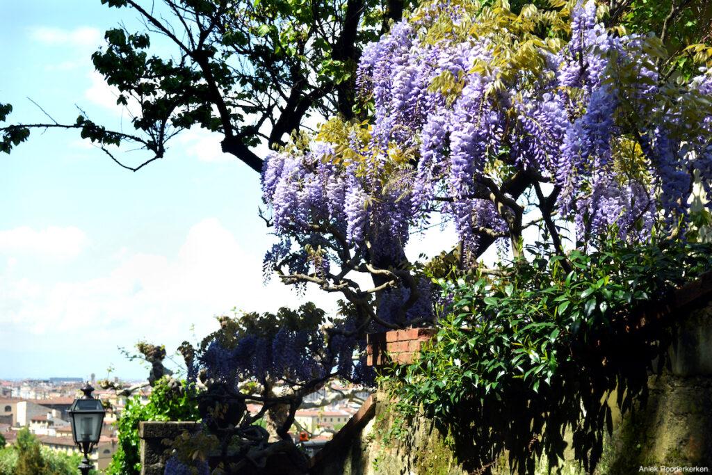 Blauwe regen in de tuinen van Florence